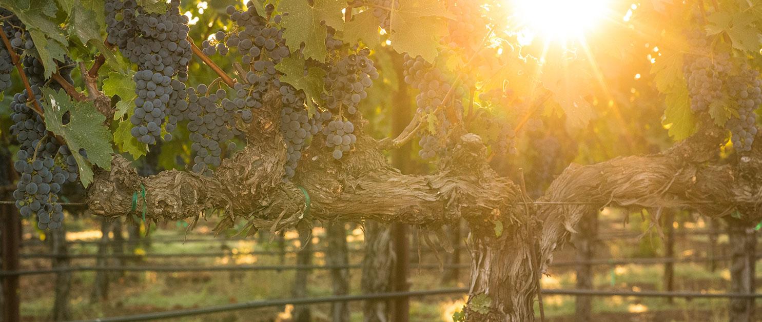 Press & Trade - Oakville Vineyard | Wine Tours Napa Valley